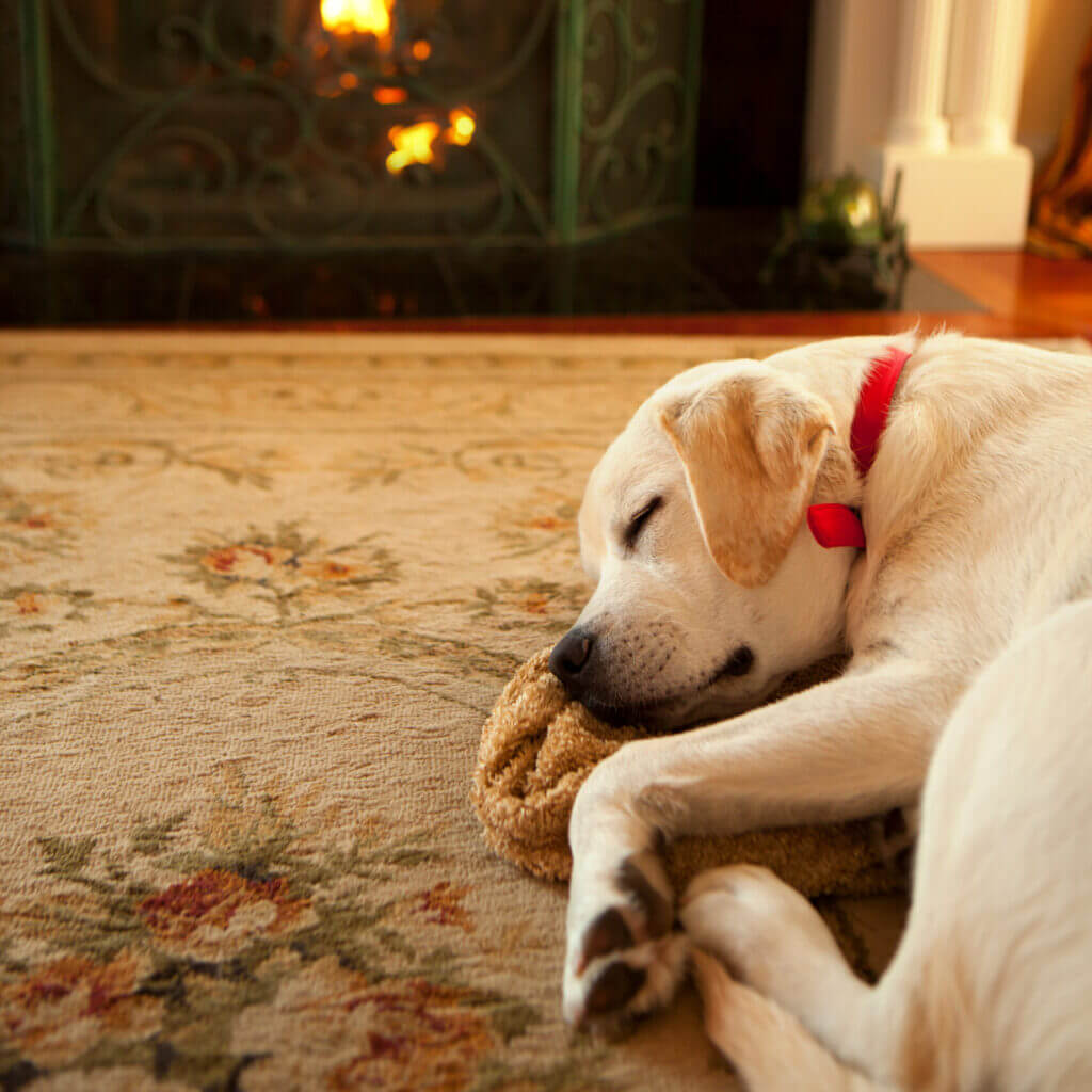A yellow lab is pictured sleeping peacefully on a plush blanket in a living room.