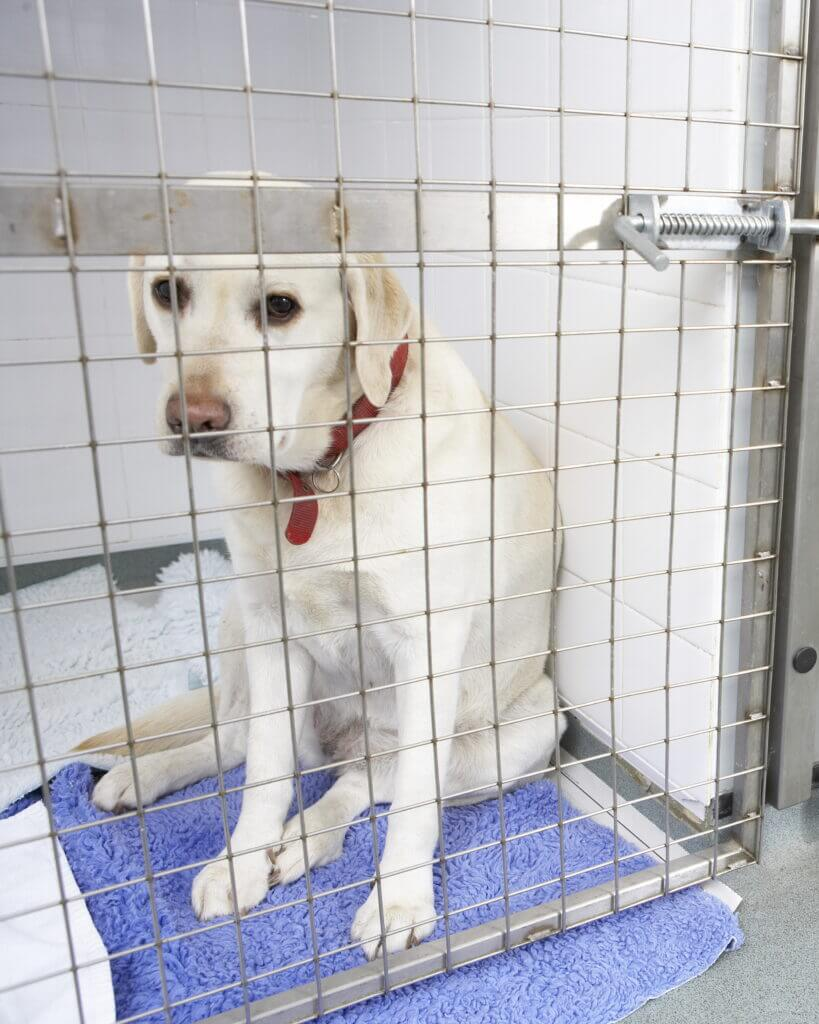 A Yellow Lab is pictured sitting inside of a cage at a kennel. Looking sad, the dog is probably wondering where his owner is.