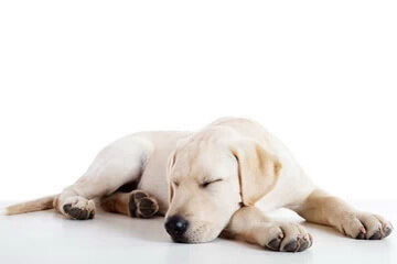 A yellow lab is sound asleep in a quiet environment.